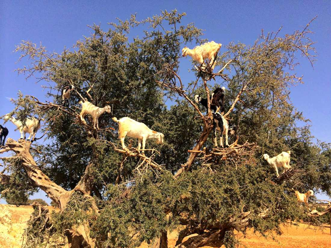 Argan Oil, goat