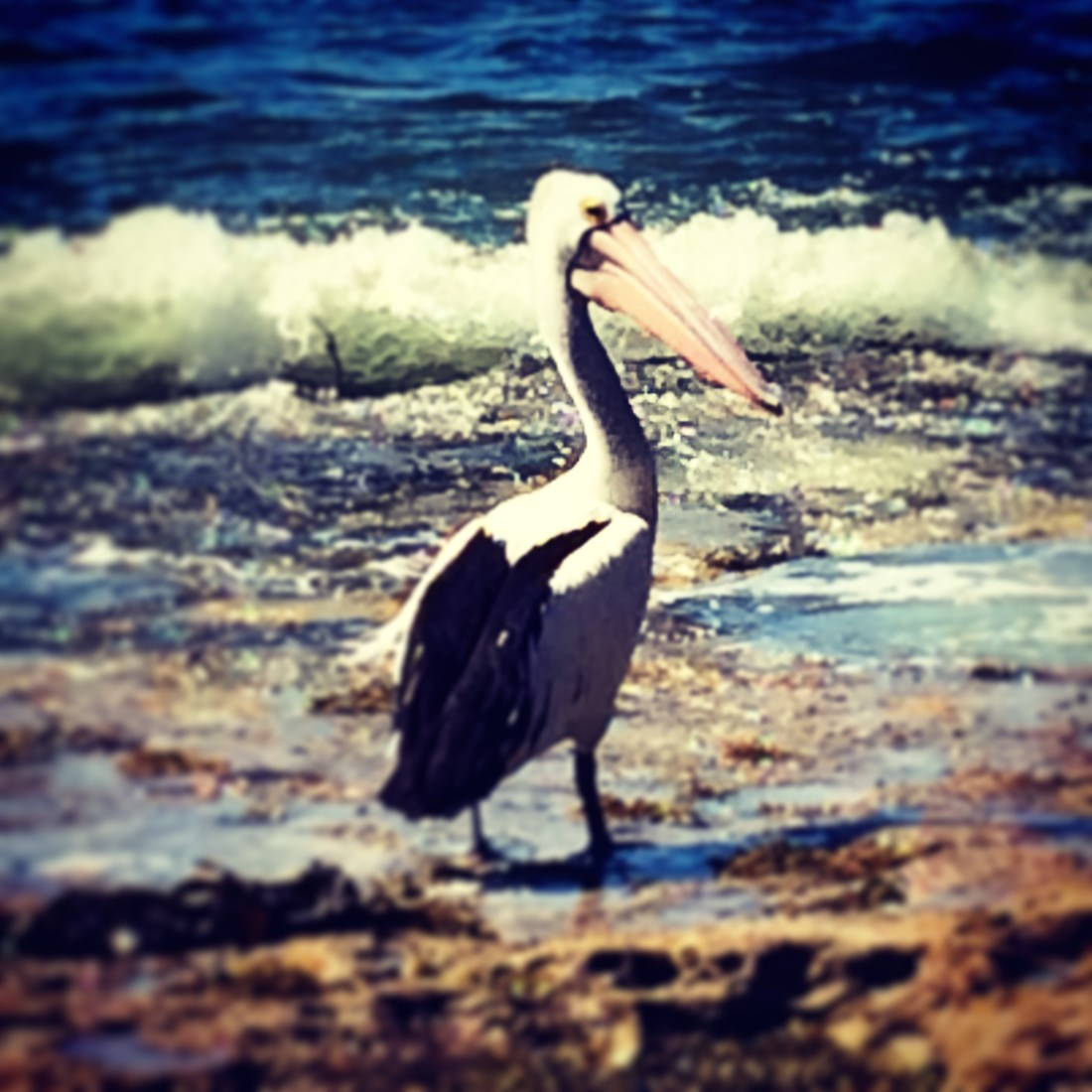 pelican-southcoast-jervis-bay